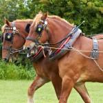 IMG_4635_heavy_horse